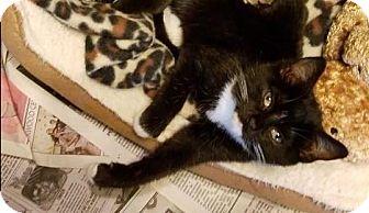 Domestic Shorthair Kitten for adoption in Mebane, North Carolina - Macy