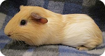Guinea Pig for adoption in Highland, Indiana - Tom