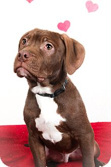 Pit Bull Terrier Mix Puppy for adoption in Tehachapi, California - Dopey