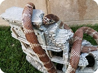 Snake for adoption in Saugus, California - Admiral Slithers