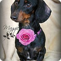 Adopt A Pet :: Maggie-Pending Adoption - Omaha, NE