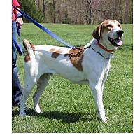 Hound (Unknown Type) Mix Dog for adoption in LaGrange, Kentucky - RINGO