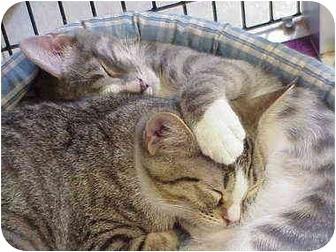 Domestic Shorthair Kitten for adoption in Deerfield Beach, Florida - Purrier & Ives