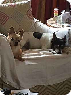 Rat Terrier Dog for adoption in Staunton, Virginia - Roxie