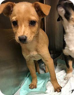 Labrador Retriever Mix Dog for adoption in Redmond, Washington - Koko