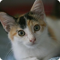 Calico Kitten for adoption in Canoga Park, California - Daphine