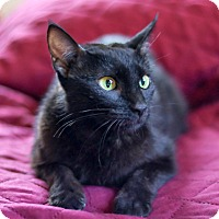 Bombay Cat for adoption in Brooklyn, New York - Mona Lisa, Oh So Lovely Lady