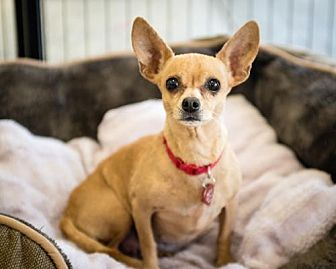 Chihuahua/Chihuahua Mix Dog for adoption in Chino Hills, California - Mom - Claremont