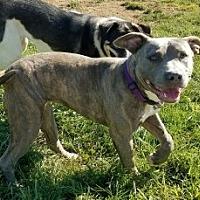 Adopt A Pet :: Rose - Aurora, IL
