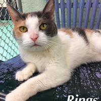 Adopt A Pet :: Rings(Declawed) - Annapolis, MD