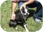 Boston Terrier Dog for adoption in Temecula, California - Mimi