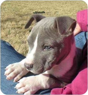 American Pit Bull Terrier Puppy for adoption in Patterson, California - LEVI