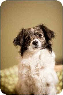Tibetan Spaniel Mix Dog for adoption in Portland, Oregon - Comet