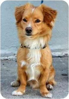 Tibetan Terrier/Tibetan Spaniel Mix Dog for adoption in Los Angeles, California - SCORPIO
