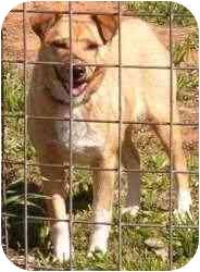 Collie/Labrador Retriever Mix Dog for adoption in Carnegie, Oklahoma - Sadie