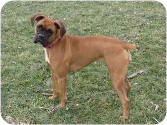 Boxer Dog for adoption in Owensboro, Kentucky - Joy