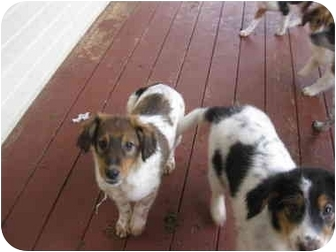 Australian Shepherd/Collie Mix Dog for adoption in Overland Park, Kansas - Baron