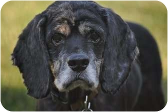 Cocker Spaniel Dog for adoption in Wood Dale, Illinois - Buster-ADOPTION PENDING!