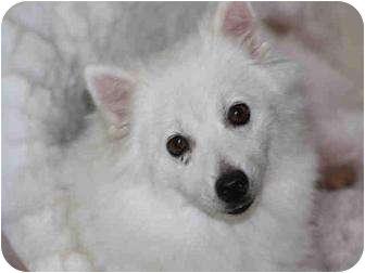 American Eskimo Dog Dog for adoption in Austin, Texas - Kiki