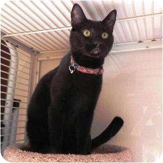 Domestic Shorthair Cat for adoption in Petaluma, California - Diesel