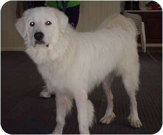 Great Pyrenees Dog for adoption in Irwin, Pennsylvania - Gulliver