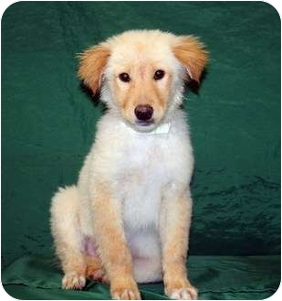 Collie/Retriever (Unknown Type) Mix Puppy for adoption in Westminster, Colorado - IGOR