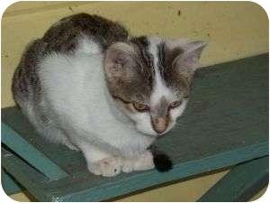 Calico Kitten for adoption in McDonough, Georgia - Wendy