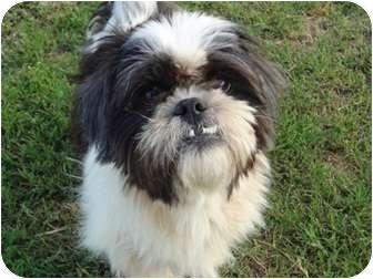 Shih Tzu Mix Dog for adoption in San Antonio, Texas - Bunny