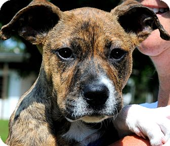 Boxer Mix Puppy for adoption in Wakefield, Rhode Island - MISS BINKY(WHAT A STORY!!)