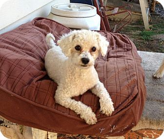 Poodle (Toy or Tea Cup) Mix Dog for adoption in Gustine, California - TONY