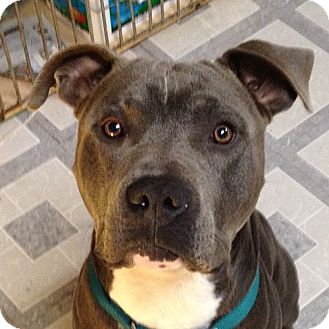 American Pit Bull Terrier Mix Puppy for adoption in Berkeley, California - J.T.