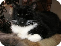 Domestic Mediumhair Cat for adoption in North Pole, Alaska - Snookie