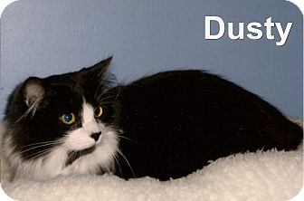 Domestic Longhair Cat for adoption in Medway, Massachusetts - Dusty