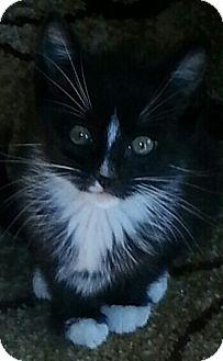 Domestic Shorthair Kitten for adoption in Whitestone, New York - Spike