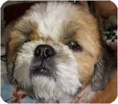 Shih Tzu Dog for adoption in Emmaus, Pennsylvania - Sam-PA