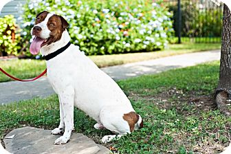 German Shorthaired Pointer/Shar Pei Mix Dog for adoption in Houston, Texas - Toby