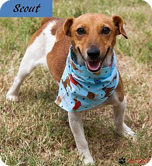Jack Russell Terrier Dog for adoption in Oklahoma City, Oklahoma - Scout in Oklahoma