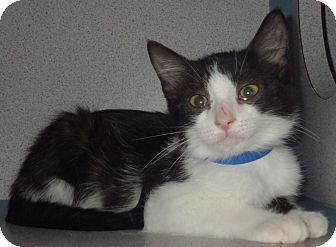 Domestic Shorthair Kitten for adoption in Fruit Heights, Utah - Jacho