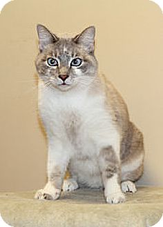 Siamese Cat for adoption in Bellingham, Washington - Henry