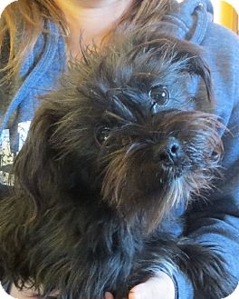 Shih Tzu/Poodle (Toy or Tea Cup) Mix Puppy for adoption in Rochester, New York - Kami