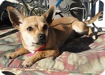 Rat Terrier/Chihuahua Mix Dog for adoption in Santa Ana, California - Kandy