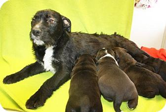 Standard Schnauzer Mix Dog for adoption in Cottageville, West Virginia - Rosalyn