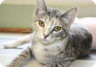 Domestic Shorthair Cat for adoption in Cottageville, West Virginia - Fifi