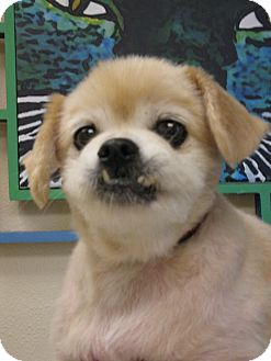 Pekingese/Poodle (Miniature) Mix Dog for adoption in Salem, Oregon - Daisy