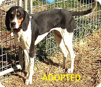 Coonhound Mix Dog for adoption in Proctorville, Ohio, Ohio - Lacey