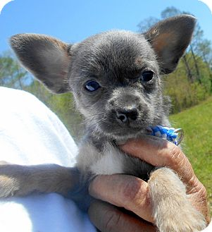 Chihuahua/Pug Mix Puppy for adoption in Allentown, New Jersey - Lila