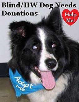 "Border Collie Dog for adoption in Minerva, Ohio - Stevie Wonder""I'M ADOPTED"""