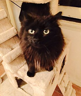 Domestic Longhair Cat for adoption in Los Angeles, California - Joey