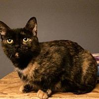 Domestic Shorthair Cat for adoption in O'Fallon, Missouri - Zia