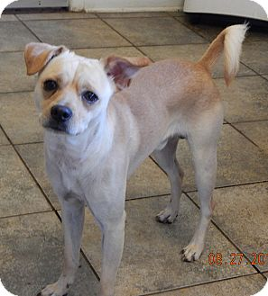 Pug/Labrador Retriever Mix Dog for adoption in Niagara Falls, New York - Tiny(22 lb) GREAT Therapy Dog!